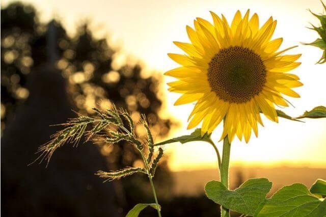 saulėgrąžos nuo hipertenzijos