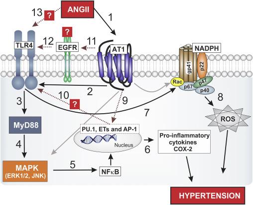 hipertenzija, kurie organai yra atsakingi kokia yra mankštos nauda širdies sveikatai