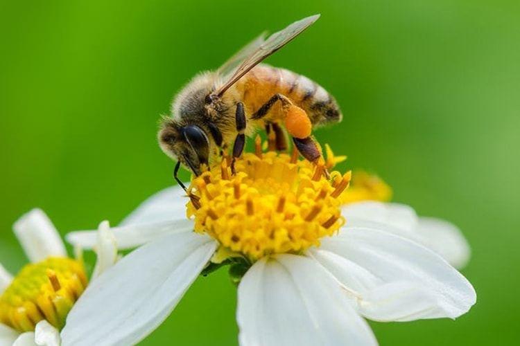 hipertenzija gydymas bičių duona
