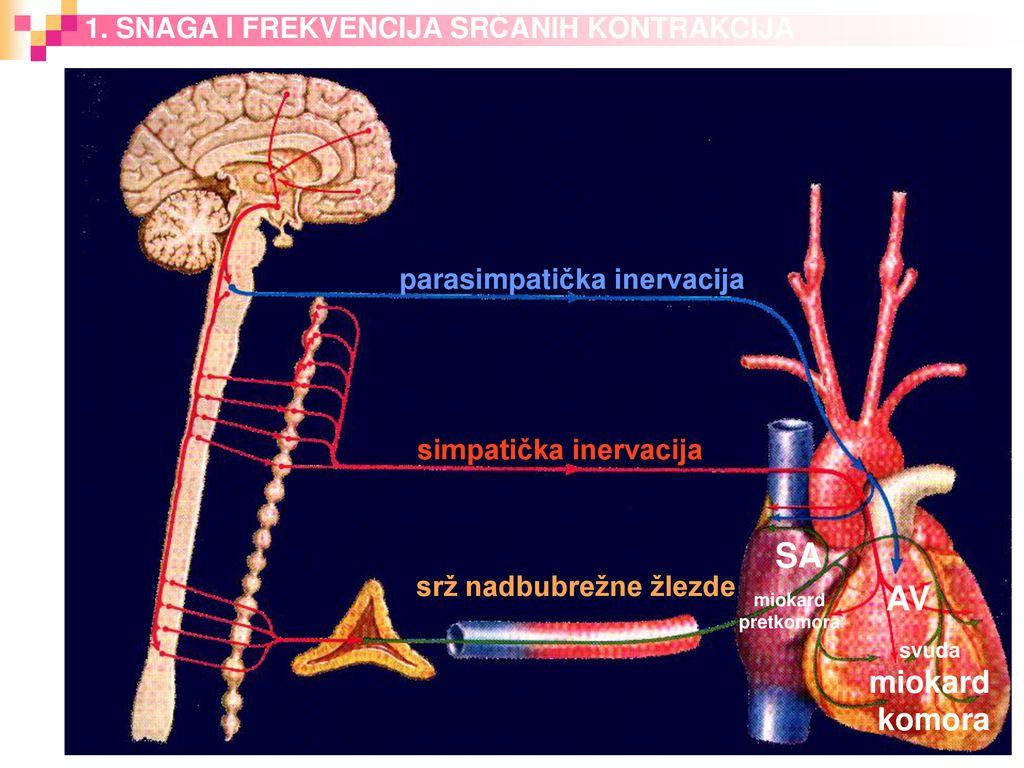 vaistinių tinktūrų mišinys hipertenzijai gydyti